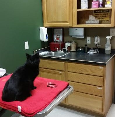 A patient in our cat friendly exam room.