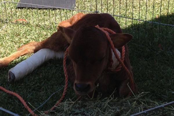 Calf with Broken leg